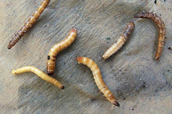 Coleoptera_larvae_provolochnik