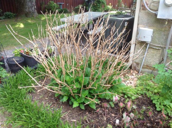 Hydrangea-pruning-06