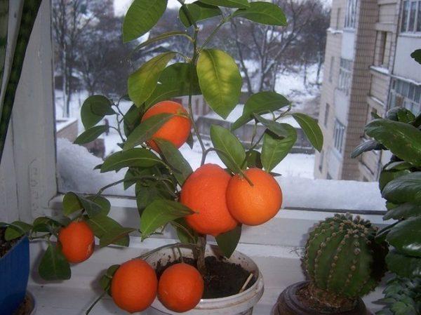 Kak-vyrastit-mandarin