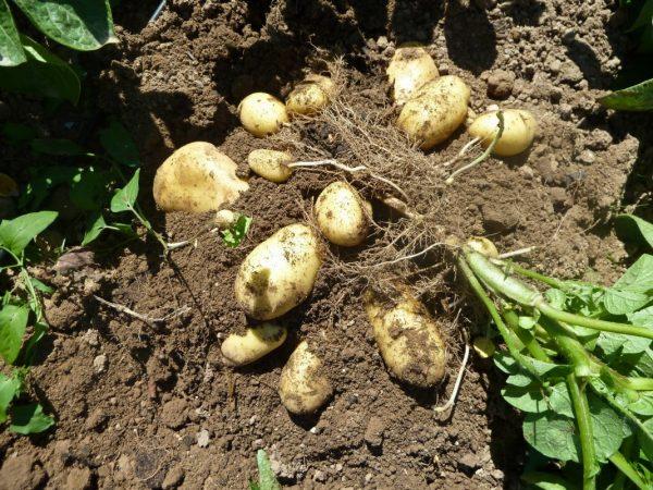 Kogda-vykapyvat-kartofel-05