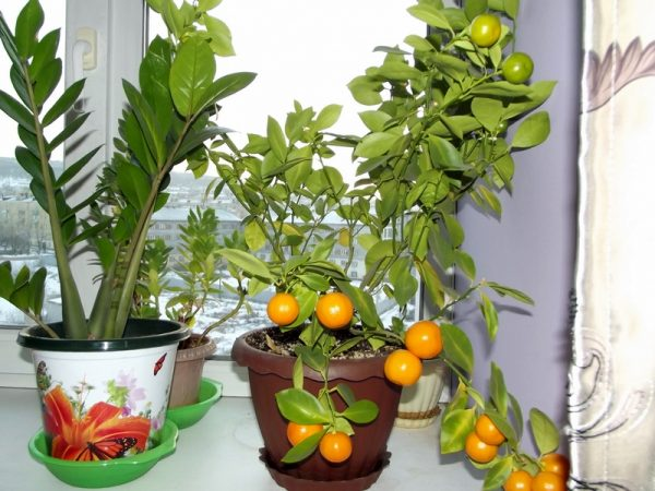 Mandarinovoe-derevtse