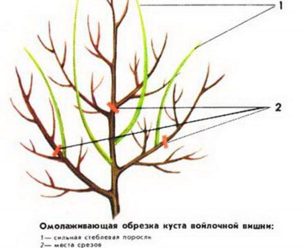 cf167ed8-voylochnaya-vishnya-shema-obrezki