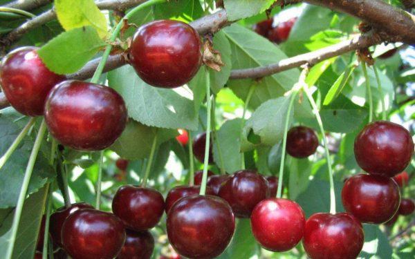 cherry-duke-04