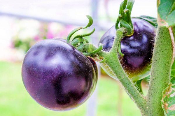 Картинки по запросу фиолетовые помидоры