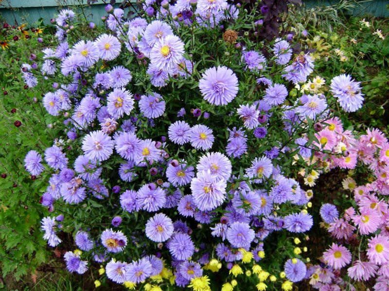 Картинки по запросу Почему не цветёт хризантема осенью