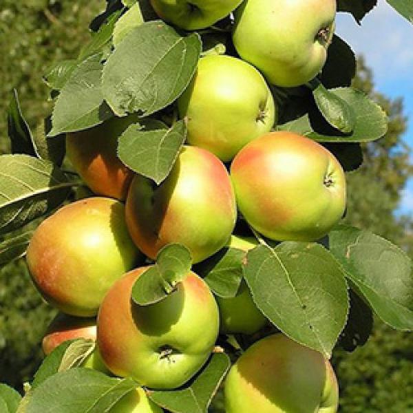 Картинки по запросу Колоновидная яблоня на садовом участке