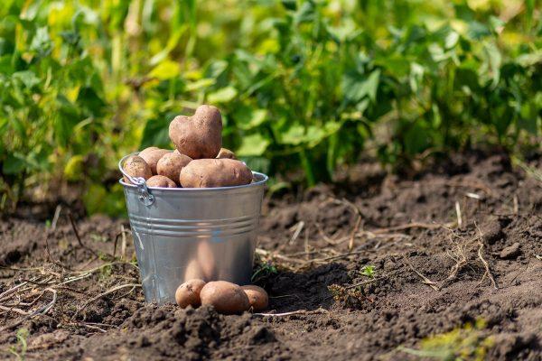 Пять причин не сажать картошку. Стоит или нет отказываться от посадки в следующем году?