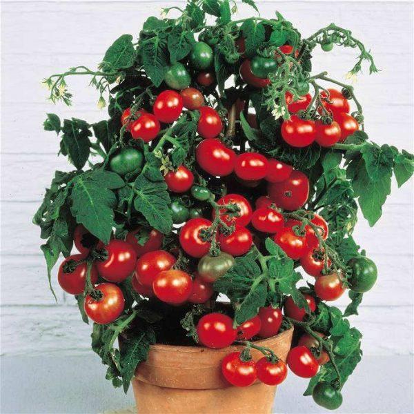 pomidor-2-700x700