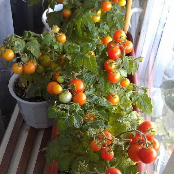 pomidory-podokonnike-1-1