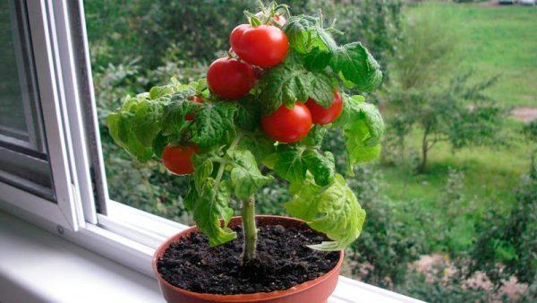 pomidory_na_balkone_18_22085441