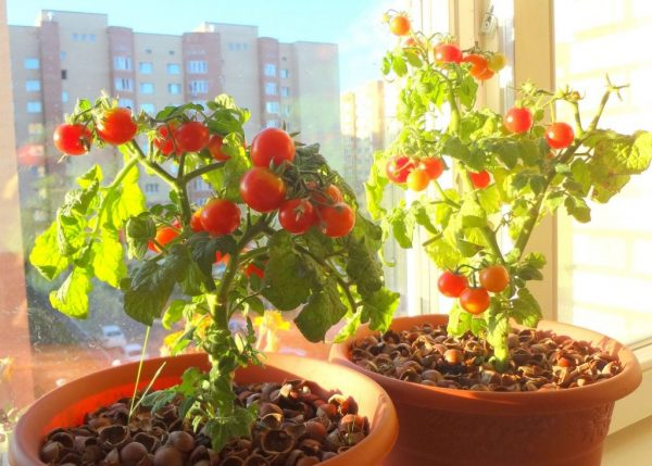 pomidory_v_kvartire_zimoy_14_24134121-1024x733