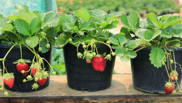 strawberries-grown-in-pots-1024x576-1024x576
