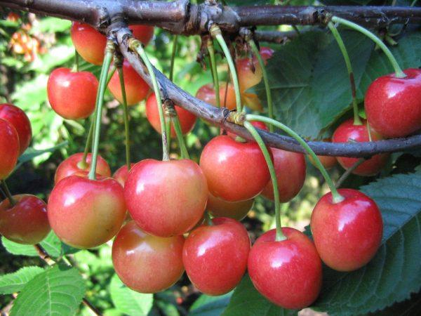 sweet-cherry-fatezh