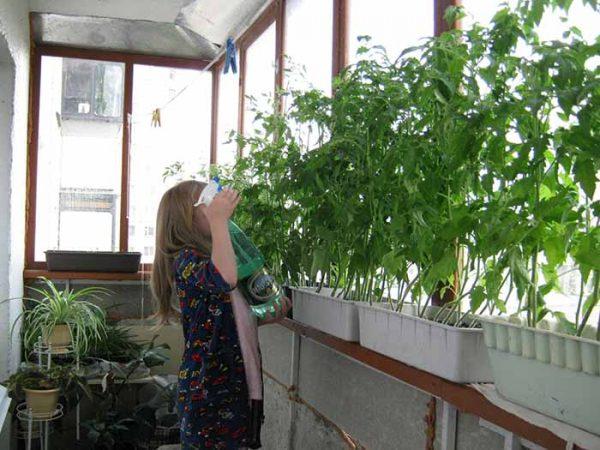 vyrashhivaem-pomidory-na-podokonnike-111