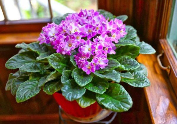 Pochemu ne cvetut fialki - vozmozhnye prichiny i rekomendacii po uhodu 2