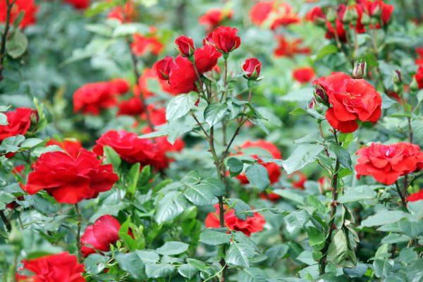 Картинки по запросу Лучшие цветы для сада с приятным ароматом: сажайте с удовольствием