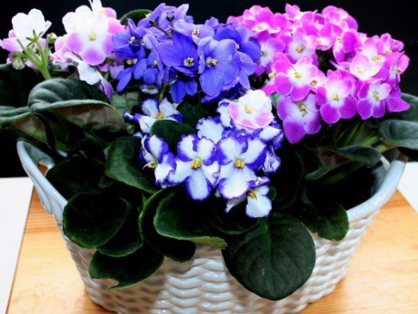 Картинки по запросу Фиалки в домашних условиях: как добиться пышного цветения?