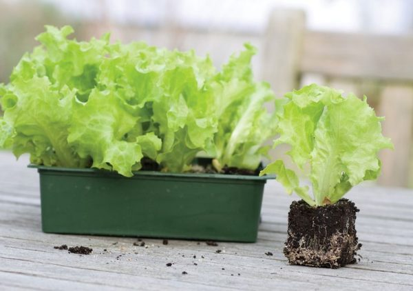 Salat-na-podokonnike