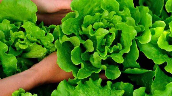Salat-vyrashhivanie-i-uhod-v-otkrytom-grunte-v-teplitse-i-na-podokonnike-1