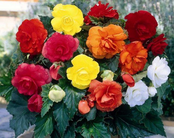 Begonia cr