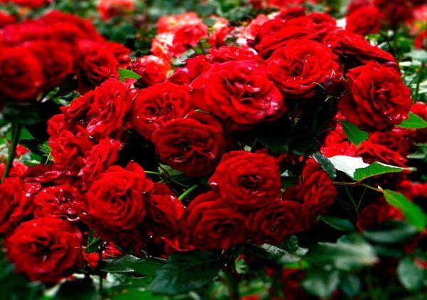 Krasnaya-roza