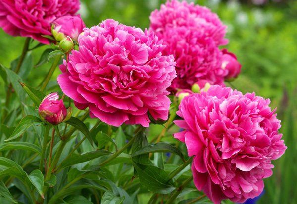 Как подкармливать пионы: внесение удобрений весной, чтобы цвели пышно