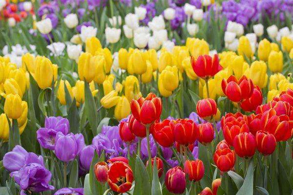 bigstock-Tulip-Beautiful-Bouquet-Of-Tu-74430439
