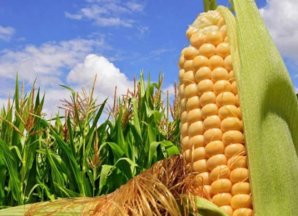 foto1 vyrashchivanie kukuruzy v otkrytom grunte