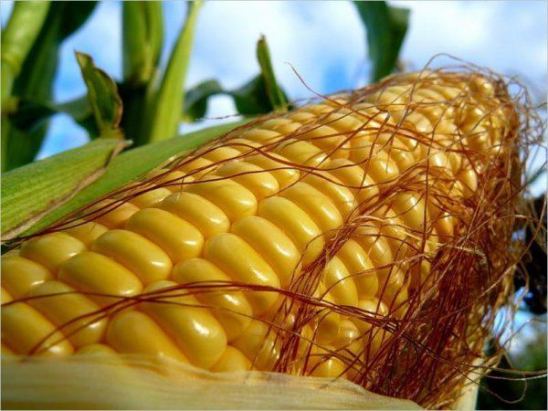 saharnaja-kukuruza 3