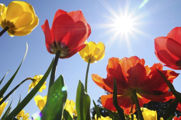 tulips-in-heat