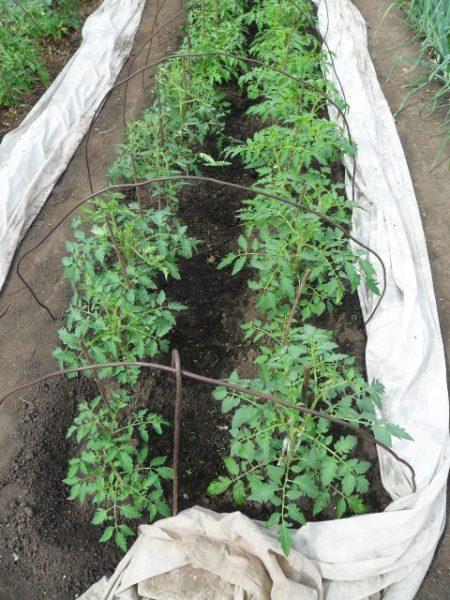 vkusniogorod-pomidory-v-otkrytom-grunte-7