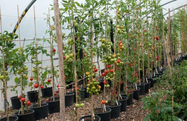 Kak-pravilno-podvyazyvat-vysokoroslye-pomidory-2