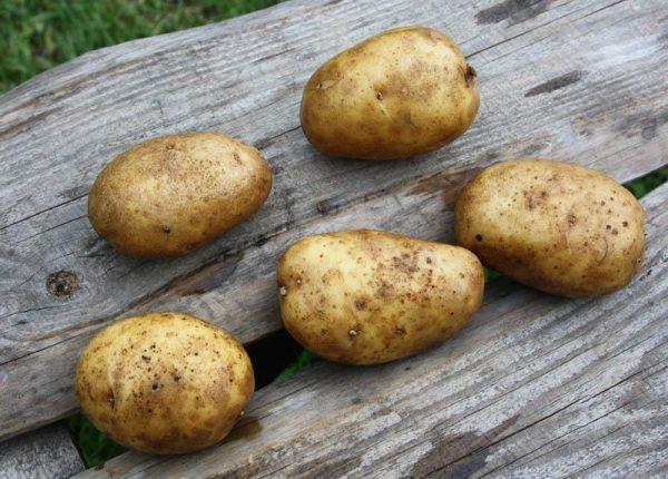 Rannespelyj-kartofel-Udacha-foto