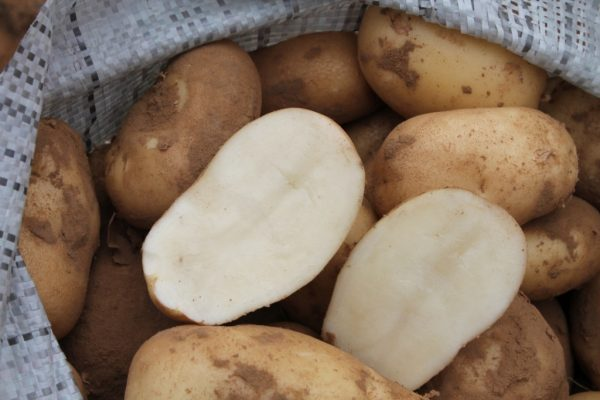 Rannij-kartofel-Udacha
