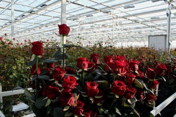 Vygonka-roz-v-teplice