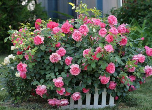 foto1 kompleksnoe udobrenie dlya roz letom