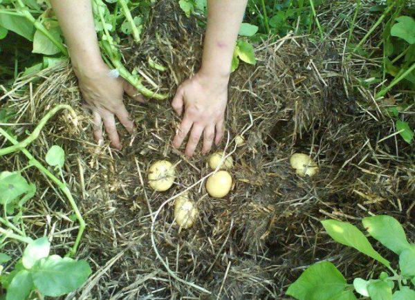 foto3 kak sazhat kartofel pod solomu
