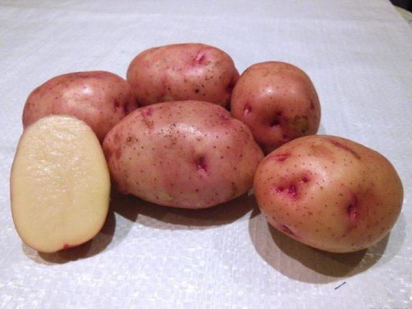 kartofel-zhukovskiy-ranniy