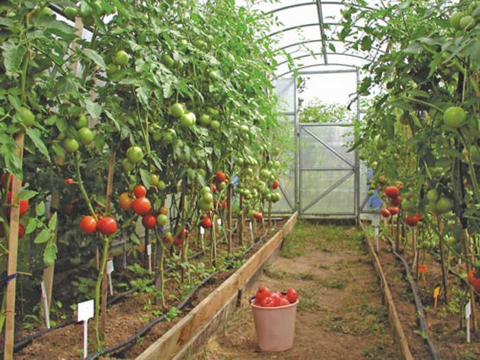 podvjazannye-tomaty