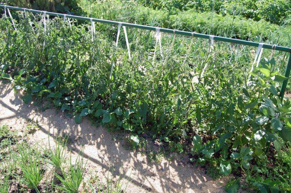 podvyazka-pomidor-v-otkrytom-grunte2