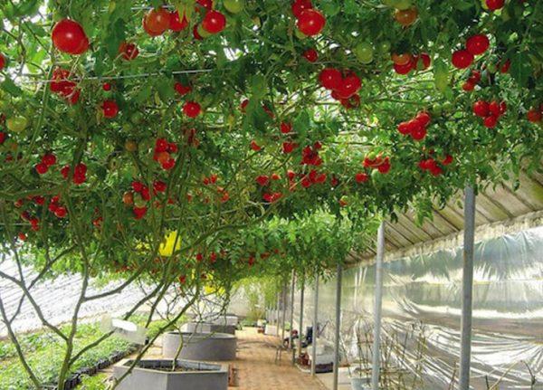 pomidornoe-derevo-v-teplice