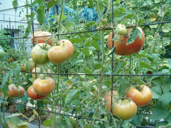 pomidory-podvjazannye-k-setke