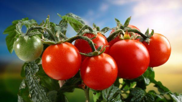 sochnye-vkusnye-pomidory-mozhno-vyrastit-ispolzuia-gollandskii-metod