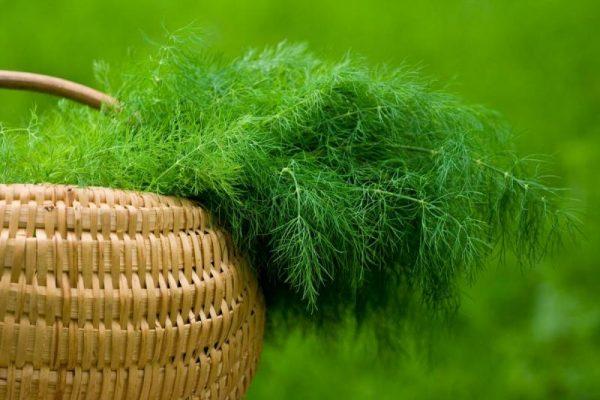 ukrop-odin-iz-samyh-populyarnyh-vidov-zeleni