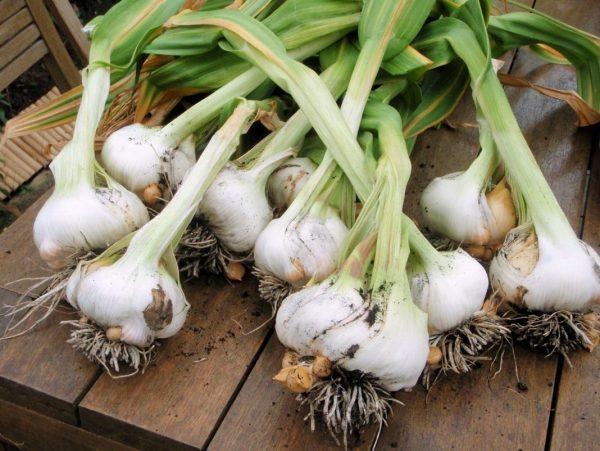 Garlic-04