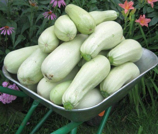 kabachki-semena-luchshie-sorta2