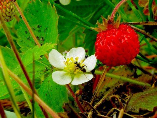 muravi-povrezhdajut-cvetki