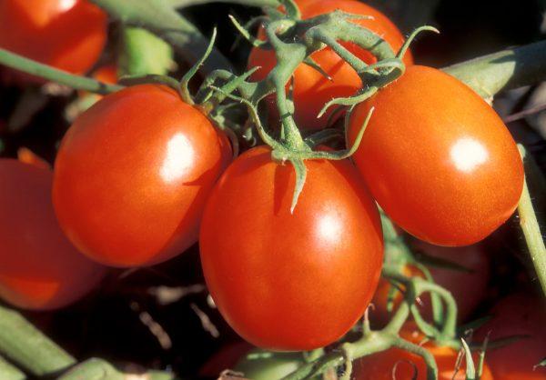 sorta-tomatov-40