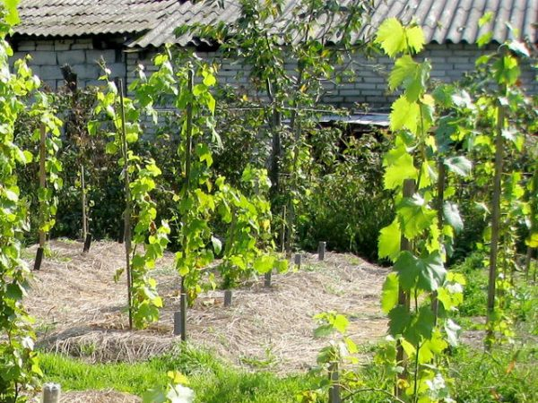 virashivan vinograda
