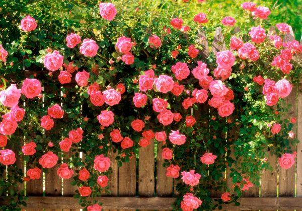 Как ухаживать за садовыми розами? Самые важные обязательные шаги